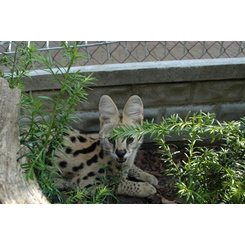 Hodowla kotów Serval