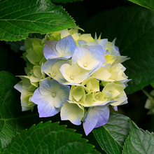 Medium hydrangeas